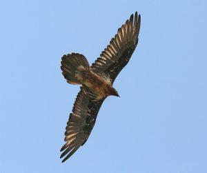 Der Bartgeier (Gypaetus barbatus): 2.5 Meter Flügelspannweite, 220 Exemplare in den Alpen, Ernährung: hauptsächlich Knochen.